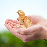 Kurczak, pisklę w dłoniach